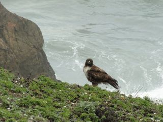 Hawk in Pacifica